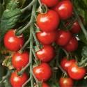 Graines de Tomates cerises en grappe