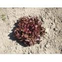 Graines de Feuille de chêne rouge