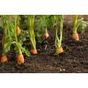 graines BIO de carottes