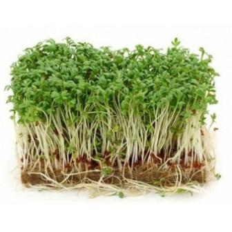 graines germées de Brocolis