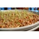 graines germées de blé