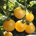 Graines de Tomates Cerises Jaune Ola Polka