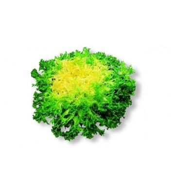 Salade frisée (chicorée)